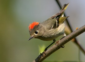 Hull House Ruby Crown Kinglet