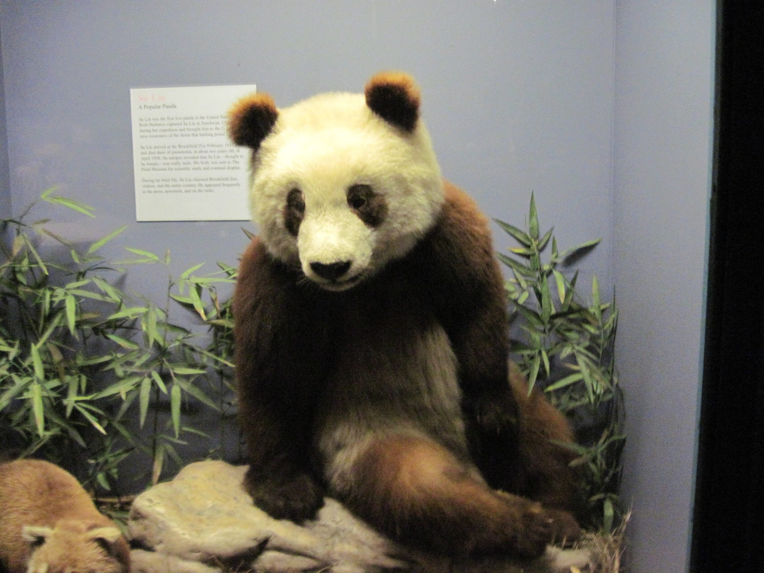 Su Lin Field Museum Chicago giant panda Chicago history podcasts